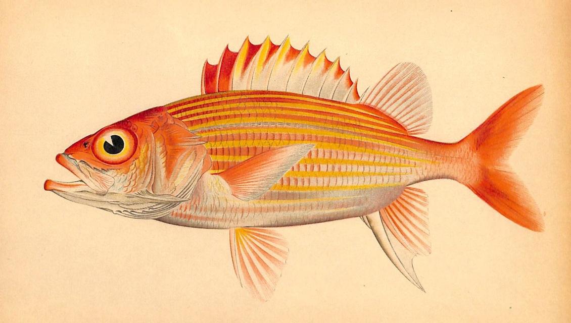 Sold tropical fish hawaiian fish flammeo scythrops 1905 for 1 fish 2 fish store